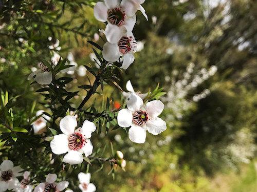Fleur Manuka