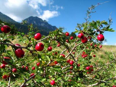 Rose musquée du Chili